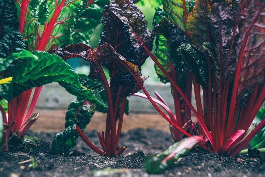 Red and purple spinach plant in soil.